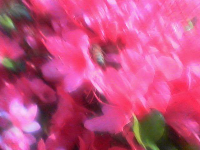 ツツジにミツバチ