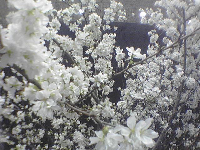 会社出勤前に桜の花見