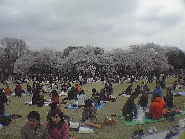 桜満開新宿御苑旧父親学会東京団は雨で早じまい