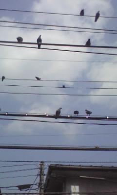 鳩、鳩!鳩?