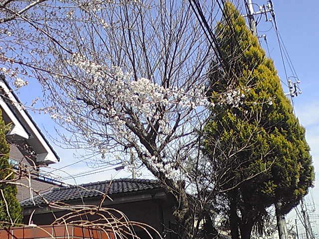 桜が咲き始めました。東京都小平市