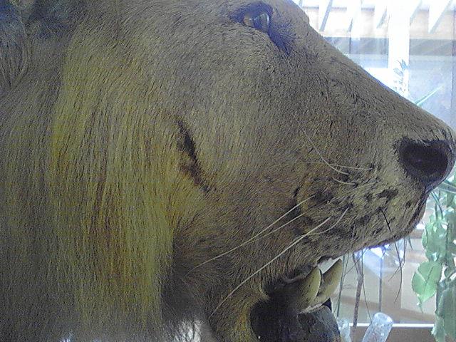 小平市図書館2階 ひとりぼっちのライオン