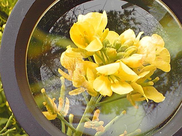なのはな、ナノハナ、菜の花 春だ!