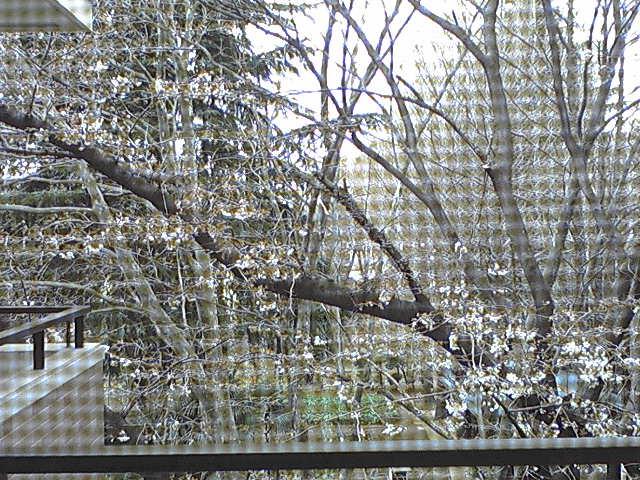 網戸ごしの桜 二分咲き 小平市